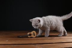 Kitten playing with guitar on wooden background, isolated. British Shorthair lilac kitten playing at the guitar, portrait on a wooden background stock photos