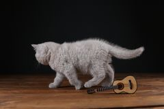 Kitten playing with guitar on wooden background, isolated. British Shorthair lilac kitten playing at the guitar, portrait on a wooden background royalty free stock photography