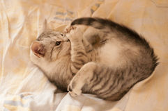 Kitten playing with his tail. Small kitten playing with his tail in owner's bed royalty free stock image