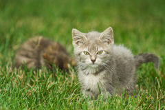 Kitten Playing In The Grass. Royalty Free Stock Images