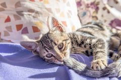 Kitten playing its mother tail on couch royalty free stock images