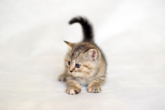 Kitten playing, kitten brindle coat color. Royalty Free Stock Image