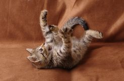 Kitten playing lying on its back. A studio shoot of a tabby kitten playing on a brown background Royalty Free Stock Photography