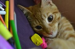 Kitten playing Royalty Free Stock Photography