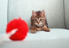 Kitten playing with a pon-pon toy. Curious kitten playing with a red pon-pon toy on a couch. This is a domestic cat, a mixed breed, eight weeks old Royalty Free Stock Photography