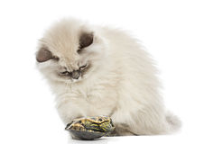 Kitten playing with a pond slider turtle Royalty Free Stock Photo