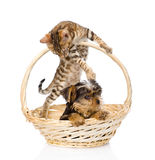 Kitten playing with a puppy.  on white background Royalty Free Stock Photography