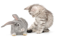 Kitten playing with rabbit Royalty Free Stock Photos