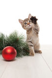 Kitten playing with red ball and twig of fir Royalty Free Stock Image