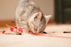 Kitten playing in a room. Kitten playing on a rug in a room. Close up stock image