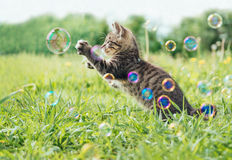 Kitten playing with soap bubbles. On green field in summer, side view Stock Photos