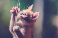Kitten Playing With String Royalty Free Stock Photos