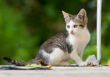 Kitten playing Royalty Free Stock Photos
