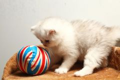 Kitten play scene. The kitten during playing a toy ball represent the cat and animal concept related idea Royalty Free Stock Images