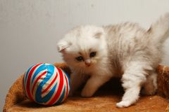 Kitten play scene. The kitten during playing a toy ball represent the cat and animal concept related idea Royalty Free Stock Photography