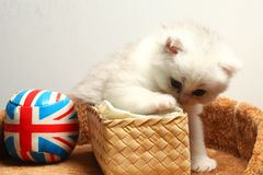 Kitten play scene. The kitten during playing a toy ball represent the cat and animal concept related idea Stock Photography