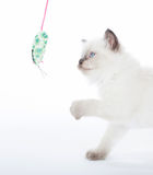 Kitten playing with toy mouse Royalty Free Stock Images