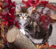 Kitten He is playing in a tree Royalty Free Stock Images