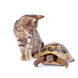 Kitten playing with turtle Royalty Free Stock Images