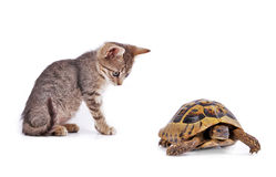 Kitten playing with turtle Royalty Free Stock Photos