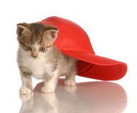 Kitten playing under baseball cap. Kitten playing under red baseball cap isolated on white background stock photos