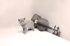 Kitten playing at the violin. British Shorthair kitten playing at the violin Royalty Free Stock Photo