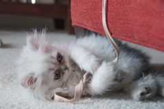 Kitten playing. White Persian kitten is playing with a string Royalty Free Stock Photo
