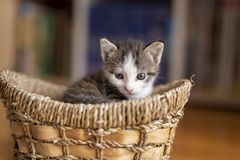 Kitten playing in a wicker basket stock photography