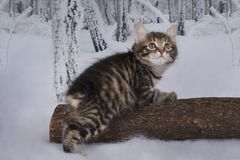 Kitten playing in the winter forest Royalty Free Stock Image