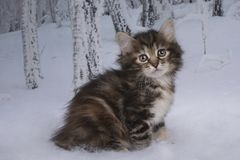 Kitten playing in the winter forest Stock Images