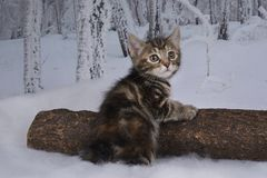 Kitten playing in the winter forest Royalty Free Stock Photos