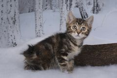 Kitten playing in the winter forest Stock Image