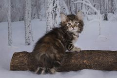 Kitten playing in the winter forest Stock Photos