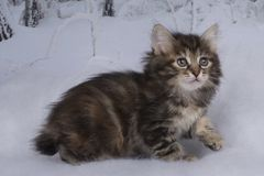 Kitten playing in the winter forest Royalty Free Stock Photo