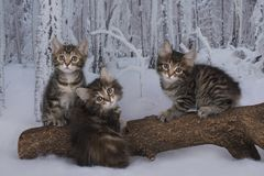 Kitten playing in the winter forest Royalty Free Stock Images