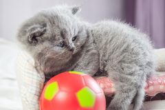 Kitten plays with a ball royalty free stock images