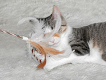 Kitten Plays with Feather Toy Royalty Free Stock Images