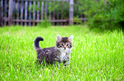 Kitten plays in a green grass Stock Photography
