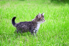 Kitten plays in a green grass Royalty Free Stock Photo