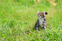 Kitten plays in a green grass Royalty Free Stock Photography