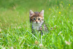 Kitten plays in a green grass royalty free stock images