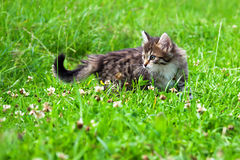 Kitten plays in a green grass Stock Images