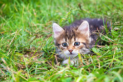 Kitten plays in a green grass Royalty Free Stock Image