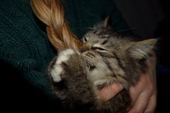 Mischievous cat. Kitten plays about with hair girls, mischievous young striped cat Stock Photos