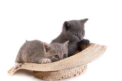 Kitten plays with a hat Stock Image