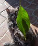 Kitten plays  leaf. The little gray kitten plays with a leaf Royalty Free Stock Image
