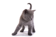 kitten plays on a white background Royalty Free Stock Image