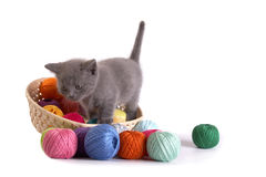 Kitten plays on a white background Stock Images