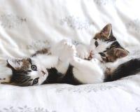 Kitten playtime. Cute kitten litter mates play fighting Stock Image
