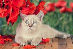 Kitten with poppy flowers royalty free stock photos
